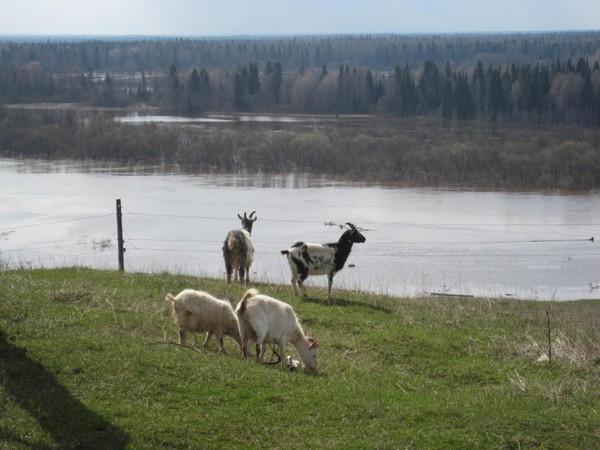 Кирс: есть ли будущее у верхнекамских коз?