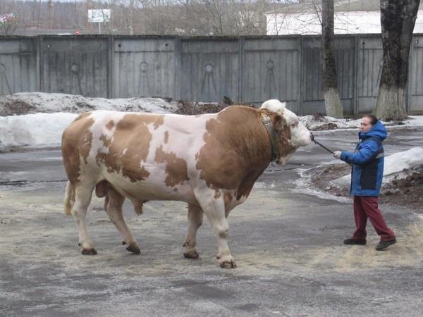 Демонстрационный показ быков