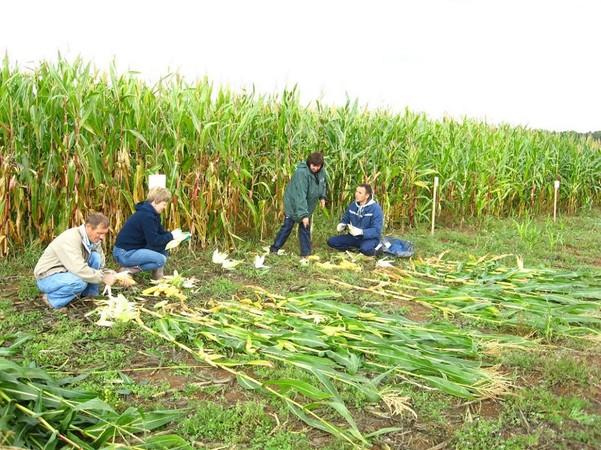 Подведены итоги опытов по кукурузе. задача для специалистов