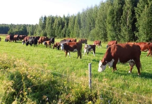 Консультирование по вопросам мясного скотоводства
