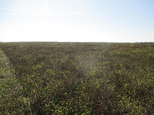 Семенники бобовых трав